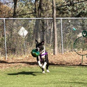 Gumball Pit Bull Terrier Dog