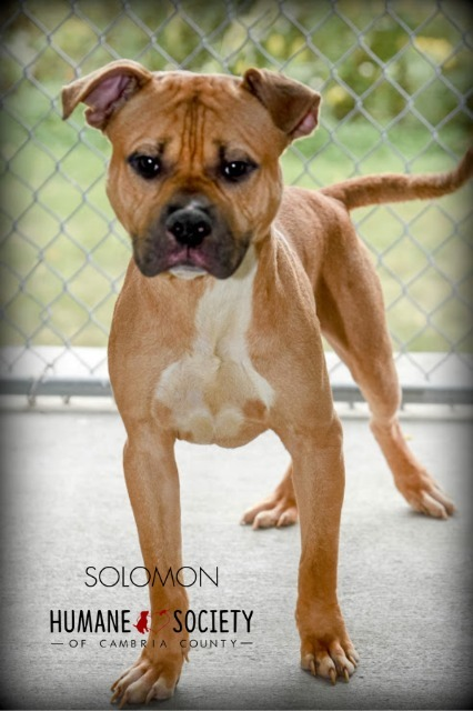 Solomon, an adoptable Pit Bull Terrier in Johnstown, PA