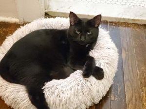 Bamboozle Domestic Short Hair Cat