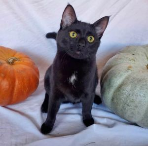 Stud muffin alert Bamboozle is a 7 month old black panther boy ready for his forever homeSuper pla