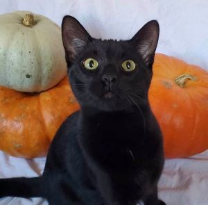 Stud muffin alert Marlarkey is a 7 month old black panther boy ready for his forever homeSuper pla