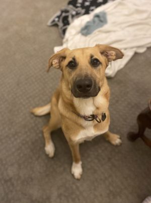 Lola is an incredibly sweet 8 month old Shepherd mix looking for a new home She is spayed fulled