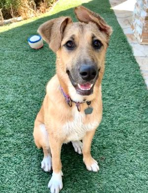 Lola is a beautiful 9 month old Shepherd mix weighing in around 50 lbs She came to us from Mexico