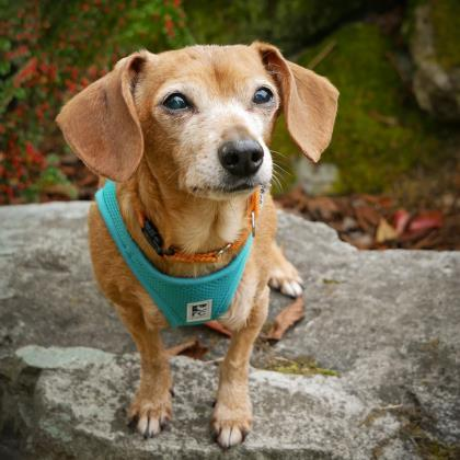 Chloe, an adoptable Dachshund & Chihuahua Mix in Seattle, WA