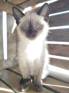 Opal-must be adopted with another kitten