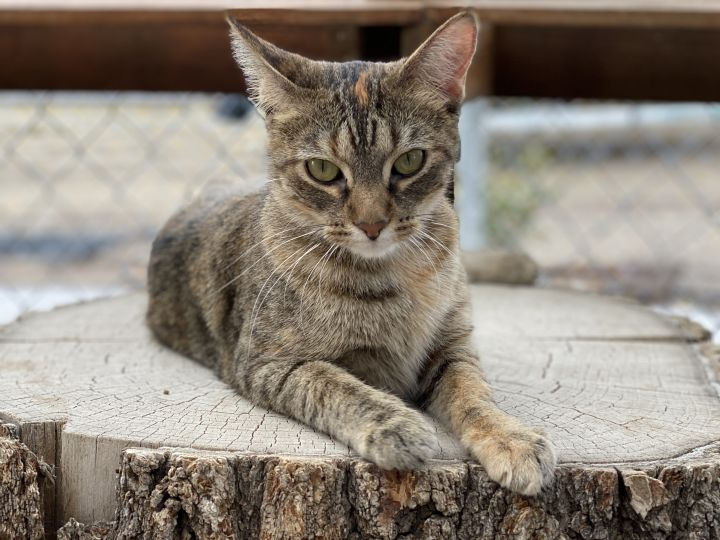 Carole, an adoptable Domestic Short Hair in Pierre, SD
