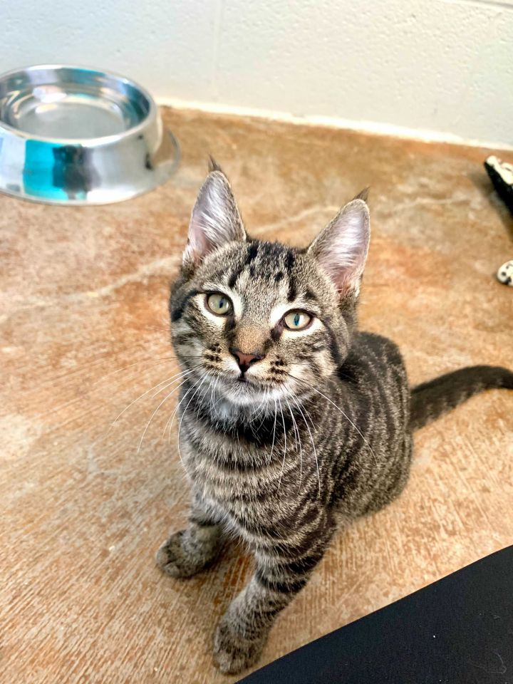 Vulcan, an adopted Domestic Short Hair Mix in Carencro, LA