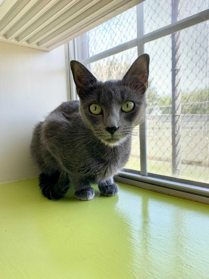 Selkie, an adopted Domestic Short Hair Mix in Carencro, LA