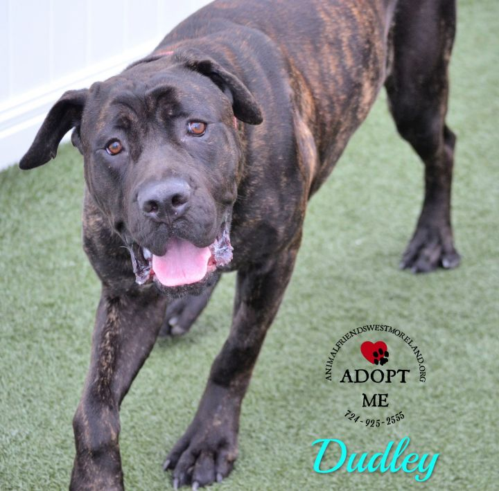 Dudley, an adoptable Mastiff in Youngwood, PA