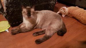 Nerms Siamese Cat