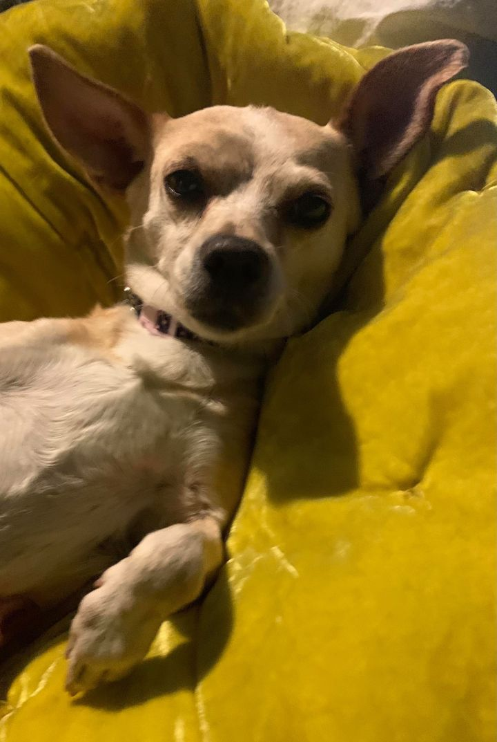 Sophie, an adopted Chihuahua Mix in Rochester, NY