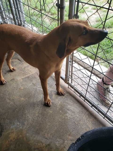 DOUGIE, an adoptable Labrador Retriever & Hound Mix in Pembroke, GA