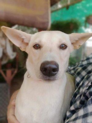Pinky Indian Canaan Pharaoh Hound Dog