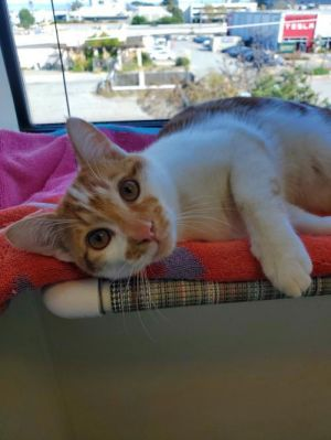 Hello my name is Milo I am a 6 month old neutered male domestic short hair c