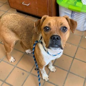 Meet Molly an adorable 2-year-old boxer mix She weighs 40 lb and has a wonderful temperment Molly