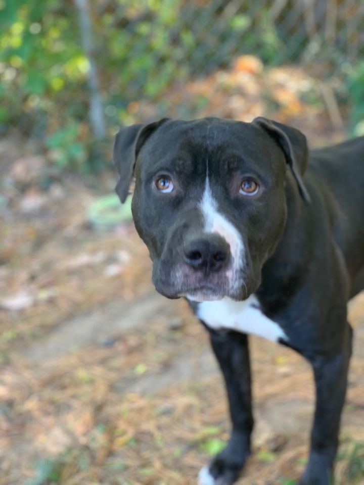 Drei, an adoptable American Staffordshire Terrier Mix in Unionville, CT