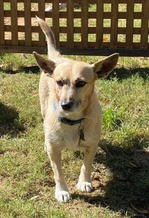 Name Zeke Breed Jack Russell TerrierCorgi Mix Color White - with Tan Yellow or Fawn Age 6 year