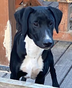 Name Woofgang Breed Pointer-hound Mix Color Black with white marks Age 8 months Size when grown