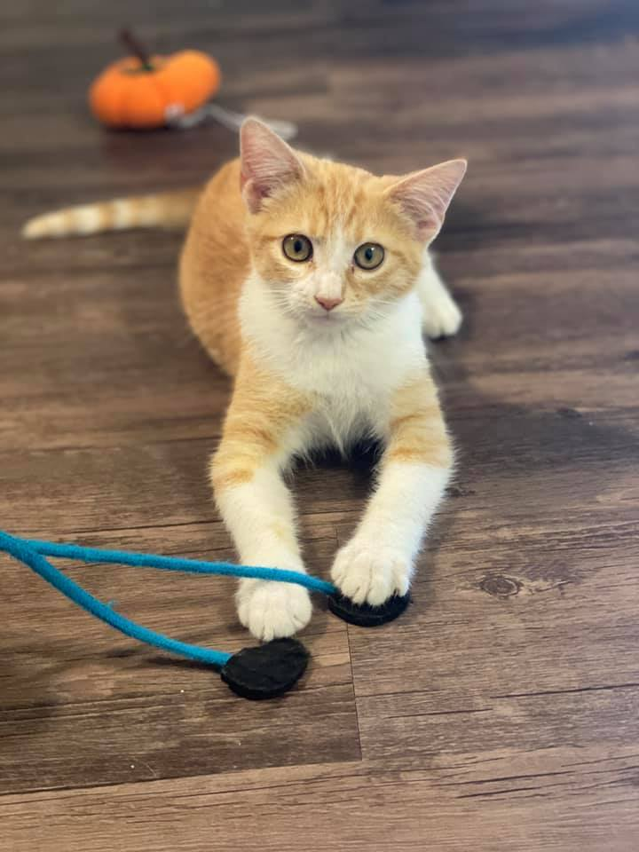 Brisk, an adoptable Domestic Short Hair Mix in Springfield, MO