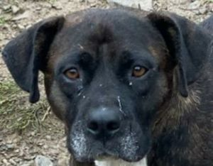 Cassie is a two and a half year-old BoxerHound mix from North Carolina If interested in adopting