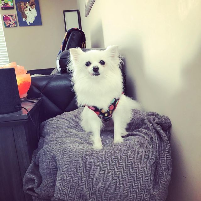 Dahlia, an adoptable Pomeranian in Charlotte, NC