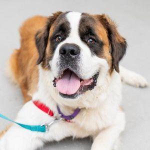 Princess Saint Bernard Dog