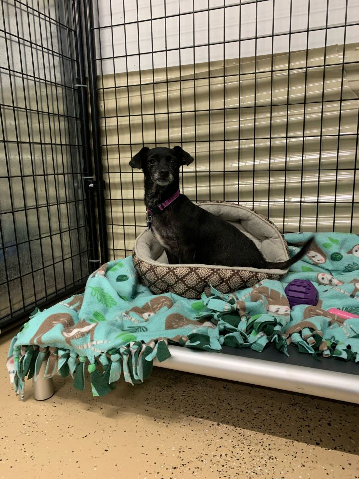 Sweet Pea, an adoptable Chihuahua Mix in Cedar Rapids, IA