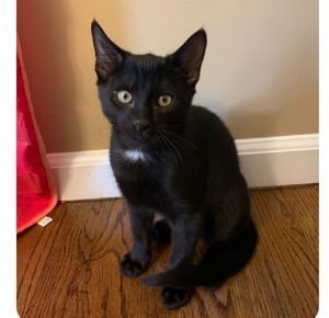 Boo is an adorable 13-week-old male kitten looking for a loving home The foster says he can be a li