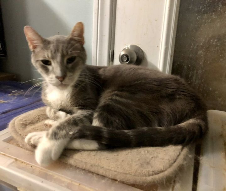 O'Riley, an adoptable Domestic Short Hair Mix in Mission Viejo, CA