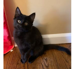 Pumpkin Spice is an adorable 13-week-old male kitten looking for a loving home He has a gorgeous s