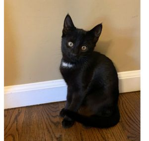 Oreo is an adorable 13-week-old male kitten looking for a loving home The foster says Oreo is not a