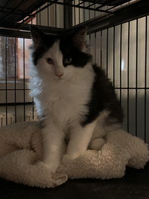 DOB 71720 Casper is an adorable sweet fluff ball of a kitten that cant wait to meet you Ki