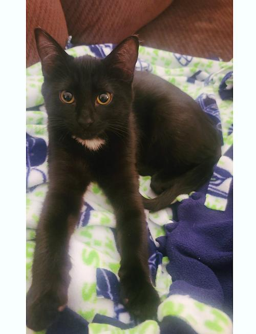 Miacomet, an adoptable Domestic Short Hair Mix in Springfield, OR