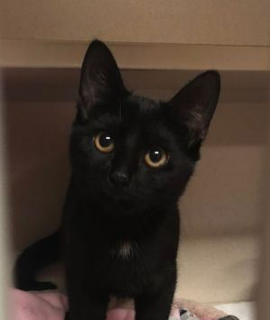Meet Fuji shes just as sweet as her name Shes an 8 month old kitten waiting at the shelter to