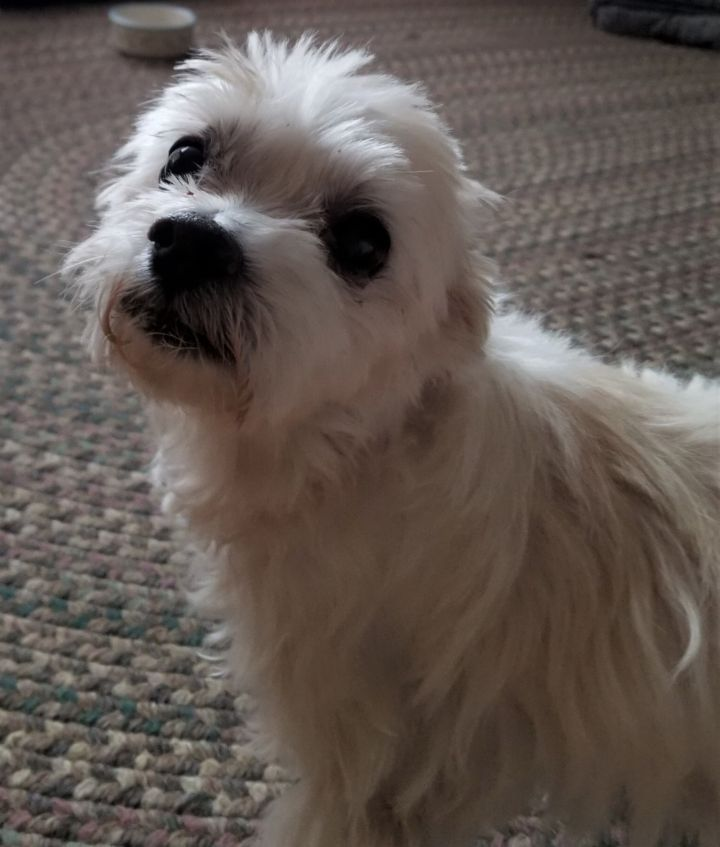 Gucci, an adopted Maltese in Rochester, NY