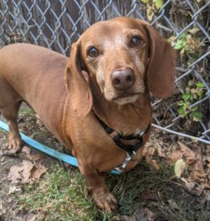 Meet Rowdy an adorable 5-year-old dachshund He weighs 17 lbs walks nicely on a leash and is just