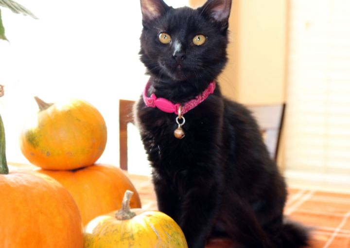 SIERRA, an adoptable Domestic Medium Hair in Centerville, UT