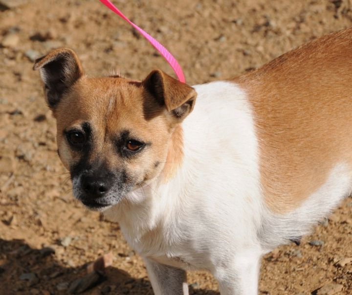 Merry, an adoptable Terrier & Pug Mix in Jamestown, CA