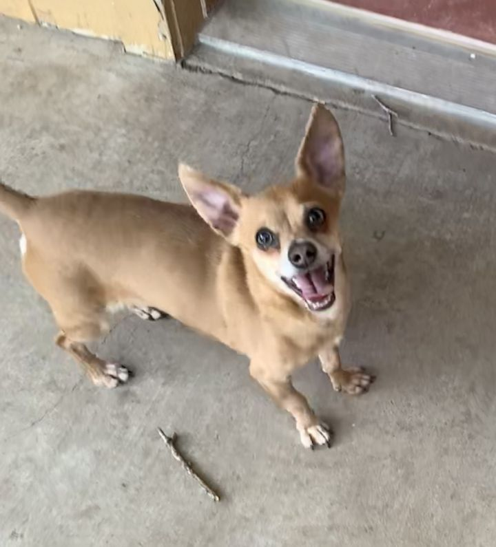 Billy, an adoptable Chihuahua in San Angelo, TX