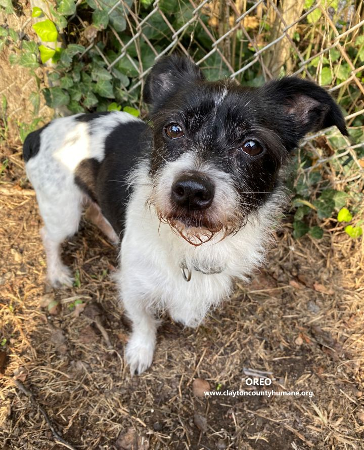 Oreo, an adoptable Jack Russell Terrier Mix in Jonesboro, GA
