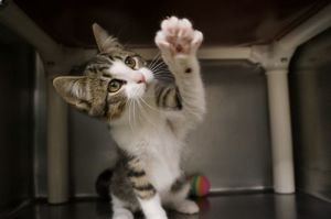 PNK is a 9 week old spayed female tabby and white short hair She was found as a stray with
