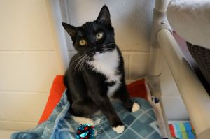 Miley Cyrus is a 9 week old spayed female short hair tuxedo She was found as a stray with her