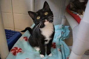 Miley Cyrus is a 4 month old spayed female short hair tuxedo She was found as a stray with her