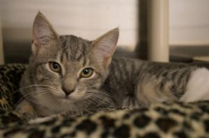 Naomi Judd is a 9 week old spayed female Grey tabby short hair She was found as a stray with