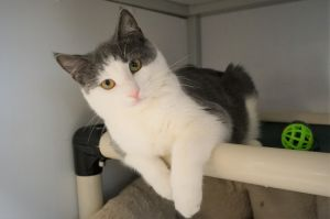 Wynona Judd is a 9 week old spayed female tabby and white short hair She was found as a stray