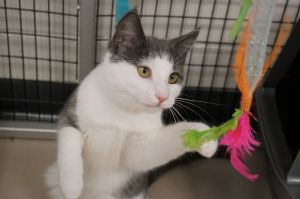 Wynona Judd is a 4 month old spayed female tabby and white short hair She was found as a stray