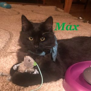 Meet Max  a very gentle  playful fluffball born in March 2020 This darling boy has the cutest lit
