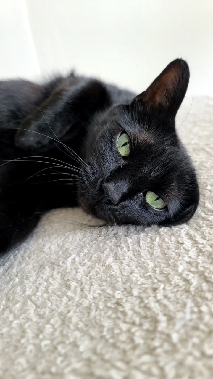 Adora, an adoptable Domestic Short Hair in Monroe, MI_image-1