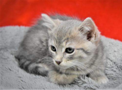 Rachel, an adopted Domestic Short Hair Mix in Monticello, IA_image-2