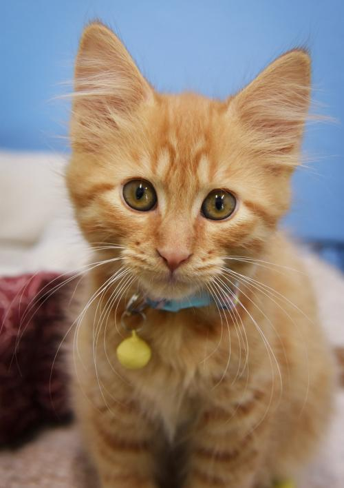 Pipi, an adopted Domestic Short Hair Mix in Monticello, IA